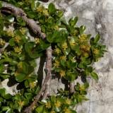 Saule à feuilles émoussées