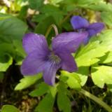 Violette de Rivinus