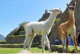 Lamas - Lamas in Machu Picchu