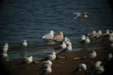 Mystery Gull