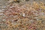 Bairds strandloper