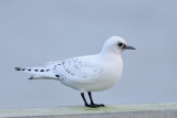 Ivory Gull / Ivoormeeuw