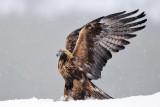 Steenarend / Golden Eagle