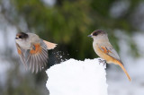 Taigagaai / Siberian Jay