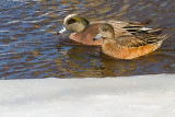 American Wigeons (male and female)