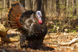 Not-so-Wild Turkey