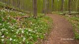 Spring Trilliums in Gatineau Park