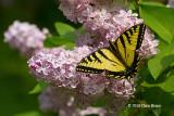 Canadian Tiger Swallowtail (Papilla canadensis)