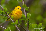 Yellow Warbler (male)