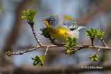Northern Parula (male)