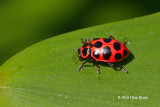 Spotted Lady Beetle (Coleomegilla maculate)