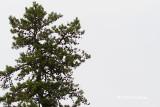 Pitch Pine (Albany Pine Bush)