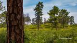 Pitch Pines (Albany Pine Bush)