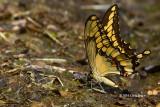 Giant Swallowtail (Papilla cresphontes)