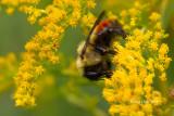 Red-banded Bumblebee (Bombus ternaries)