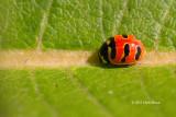 Three-banded Lady Beetle (Coccinella trifasciata)
