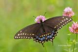 Black Swallowtail female (Papilla polyxenes)