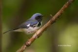 Black-throated Blue Warber (male)