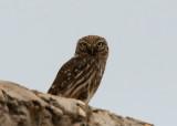 Woestijnsteenuil - Desert Little Owl