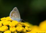 Icarusblauwtje - Common Blue