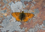 Herdersparelmoervlinder - Shepherd's Fritillary
