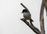 Kleine Zwartkop - Sardinian Warbler