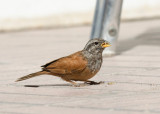 Huisgors - House Bunting