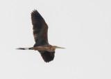 Purperreiger - Purple Egret