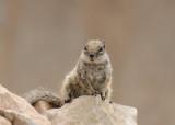 Barbarijse Grondeekhoorn - Barbary Ground Squirrel