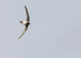 Alpengierzwaluw - Alpine Swift