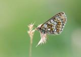 Alpenparelmoervlinder - Grisons Fritillary