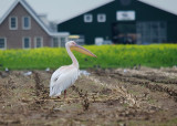 Roze Pelilaan - Great White Pelican