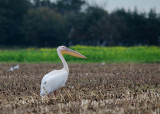 Roze Pelilaan - Great White Pelican