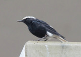 Wtkruintapuit - White-crowned Wheatear