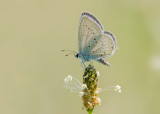 Staartblauwtje - Short-tailed Blue