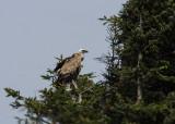 Vale Gier - Griffon Vulture