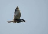 Witwangstern - Whiskered Tern