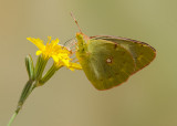 Oranje Luzernevlinder - Clouded Yellow