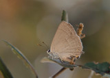 Eikenpage - Purple Hairstreak