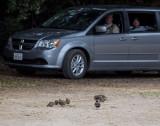 Dave Larson herding quail