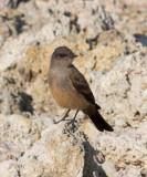 Flycatcher at Mono