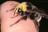 Bumblebee warming on fingertip