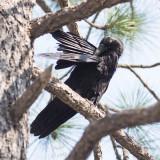 Raven Grooming