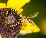 Hover fly on Rudbeckia