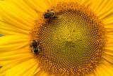 Fibonacci Spirals on Sunflower