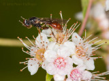 Waspish fly on meadowsweet