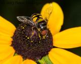 Transverse Flower Fly on Rudbeckia