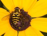 Hoverfly on Rudbeckia