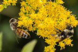 Honey Bee and Bumblebee on Goldenrod