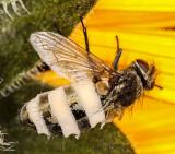 Fungus-eaten fly